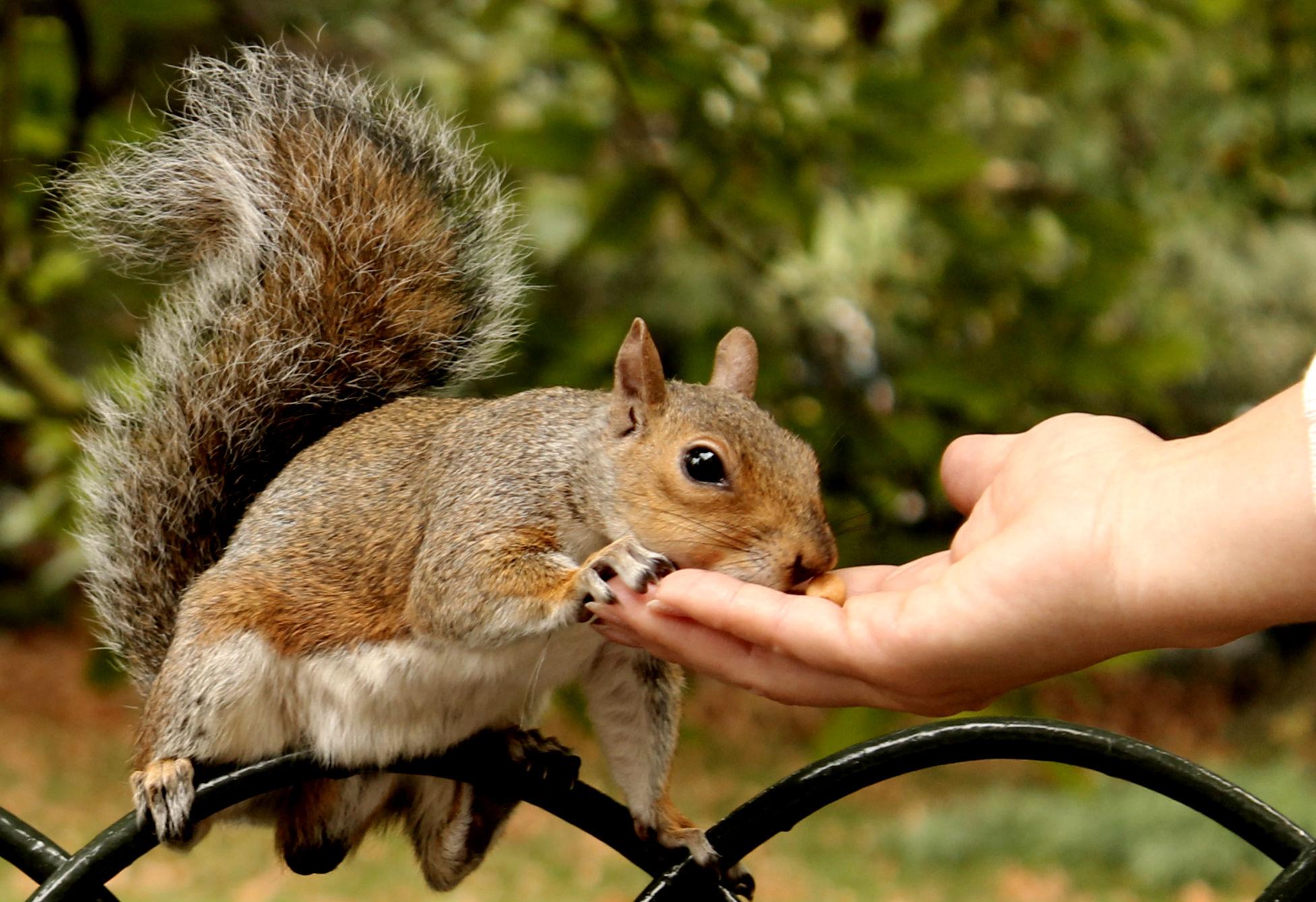 esquilo no st james's park comendo na mao de um turista