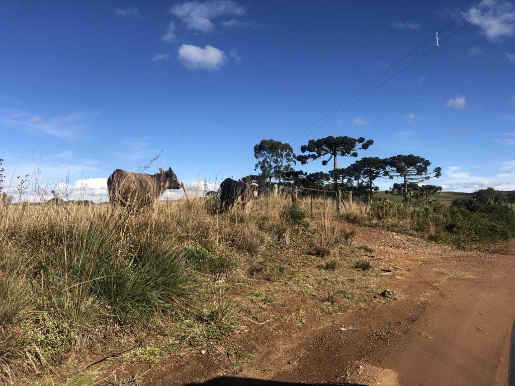vacas na beira da estrada que vai até o canion do itaimbezinho em cambara do sul, rio grande do sul